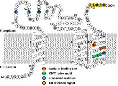 Proposed membrane topology of VKORC1