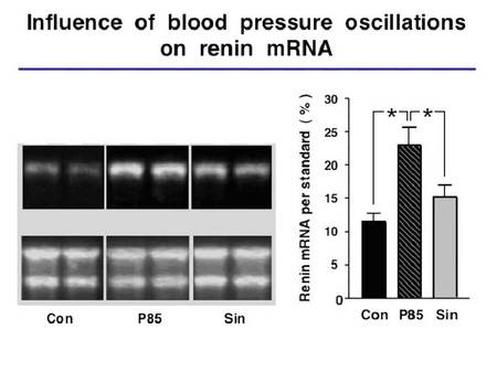 Relation of blood pressure oscillation a renin expression